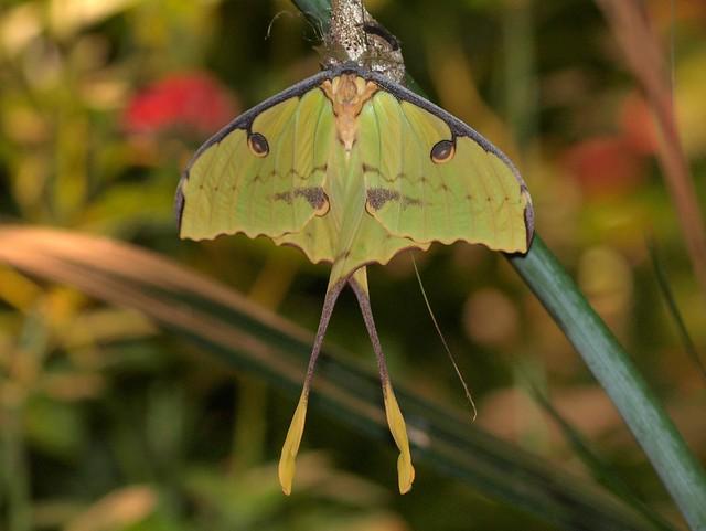African Moon Moth - Argema mimosae Flickr - Photo Sharing!