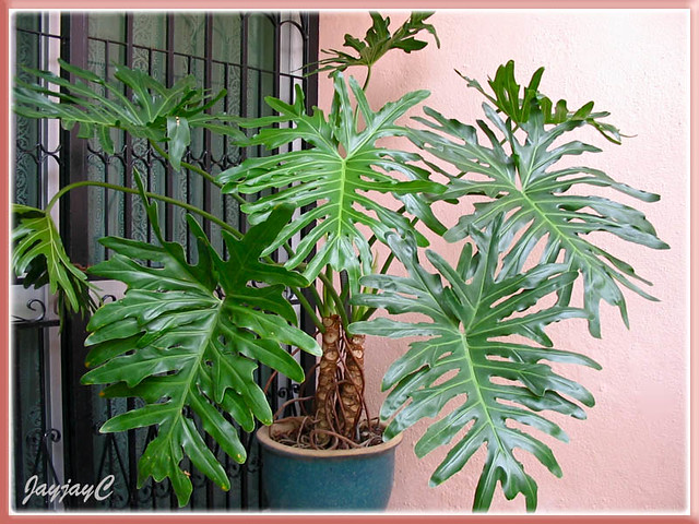 Philodendron Bipinnatifidum The Whole Shrub Some Of Its