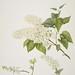 Syringa vulgaris 'Marie Legraye'