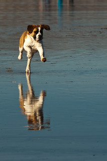 Dog running on the wet sand during an ultra-low -1.7' tide before sunset on Morro Strand State Beach | by mikebaird