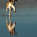 Dog running on the wet sand during an ultra-low -1.7' tide before sunset on Morro Strand State Beach
