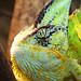 Jemen-Chamäleon / Veiled Chameleon / Yemen Chameleon (Chamaeleo calyptratus)