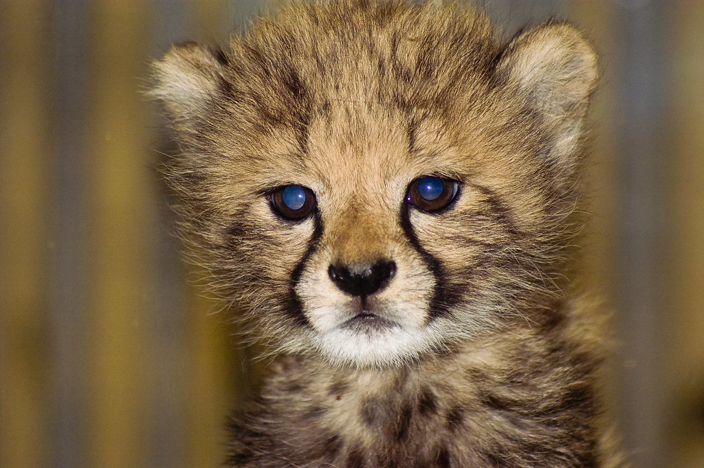 Amara, the baby cheetah | Amara, the baby cheetah at the ...