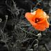 cinqueterre flower