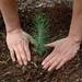 Seedling Planting