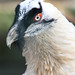 Bartgeier / Lämmergeier  / Bearded Vulture (Gypaetus barbatus)