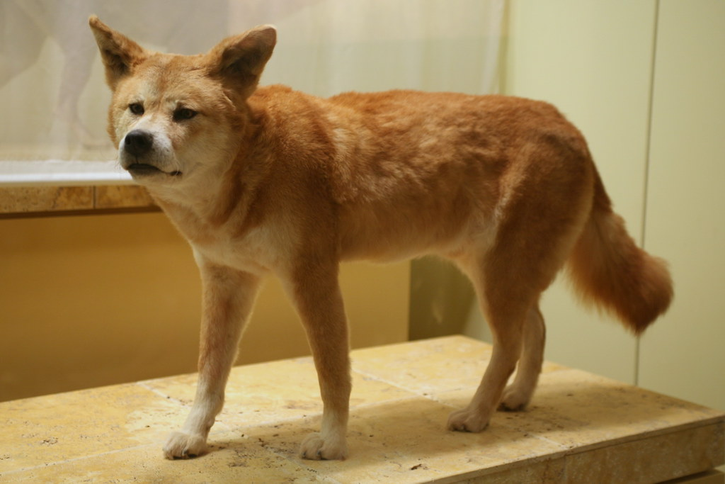 Dingo asian
