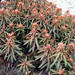 Red Euphorbia of Some Kind