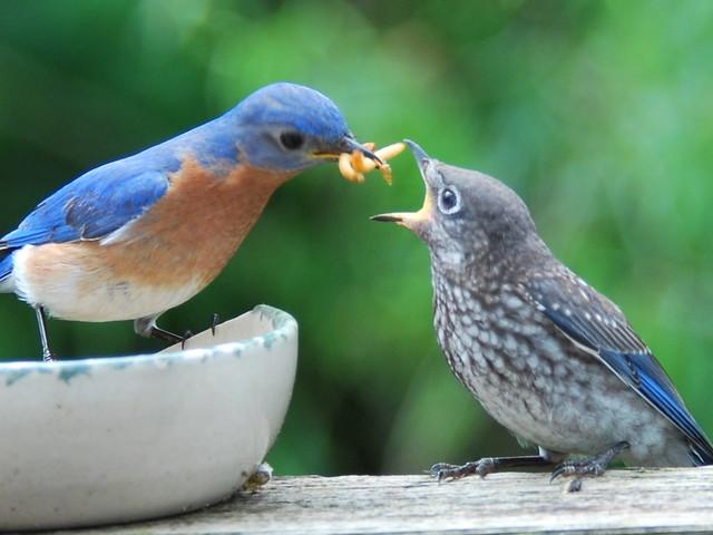 Male Eastern Bluebird Feeding A Fledgling Backyard