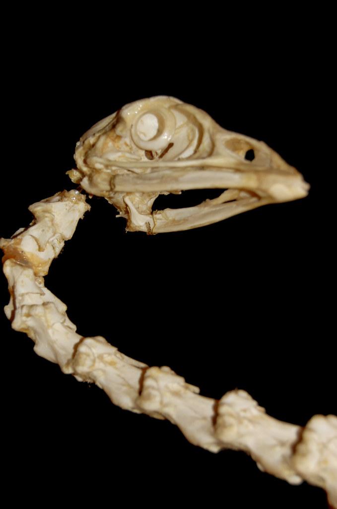 turkey skeleton