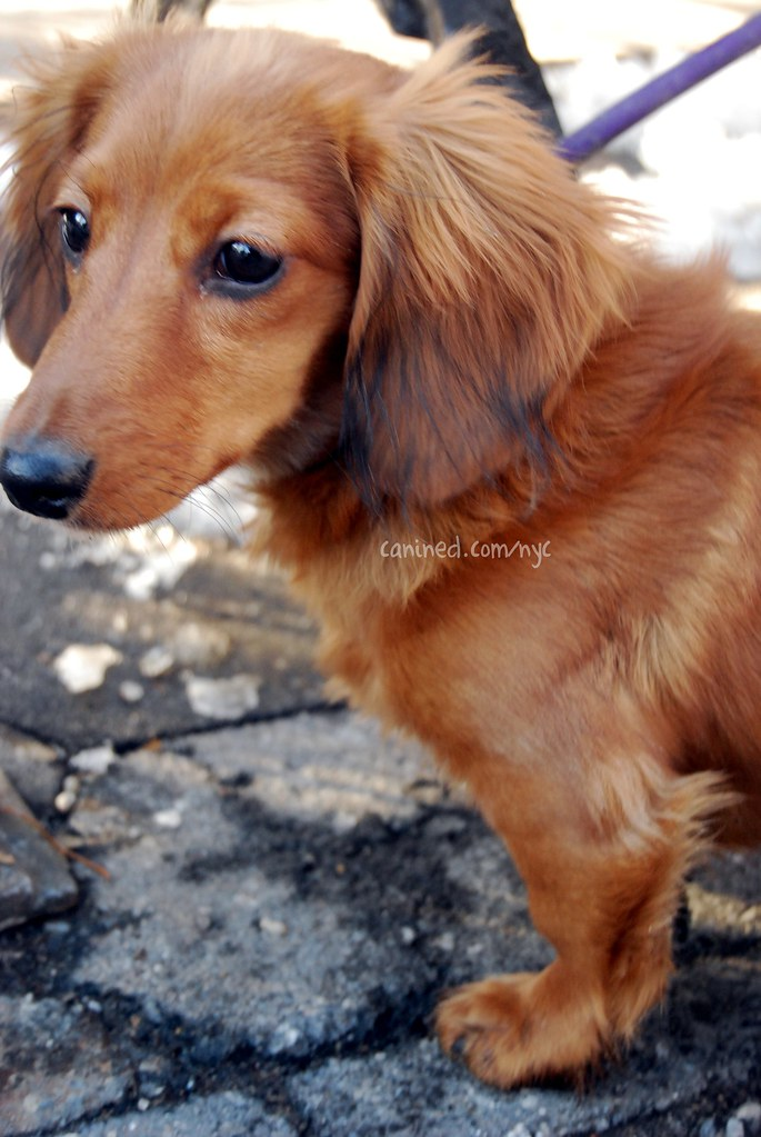 month old red long haired dachshund puppy downtown new y… | Flickr
