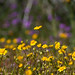 Goldfields (Lasthenia californica)