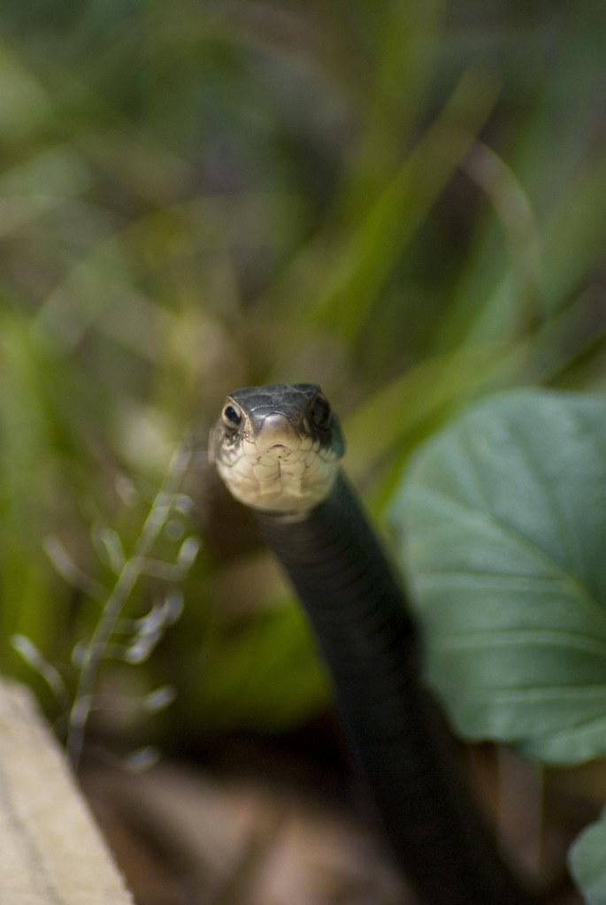 Coluber constrictor priapus   Florida black racer ...