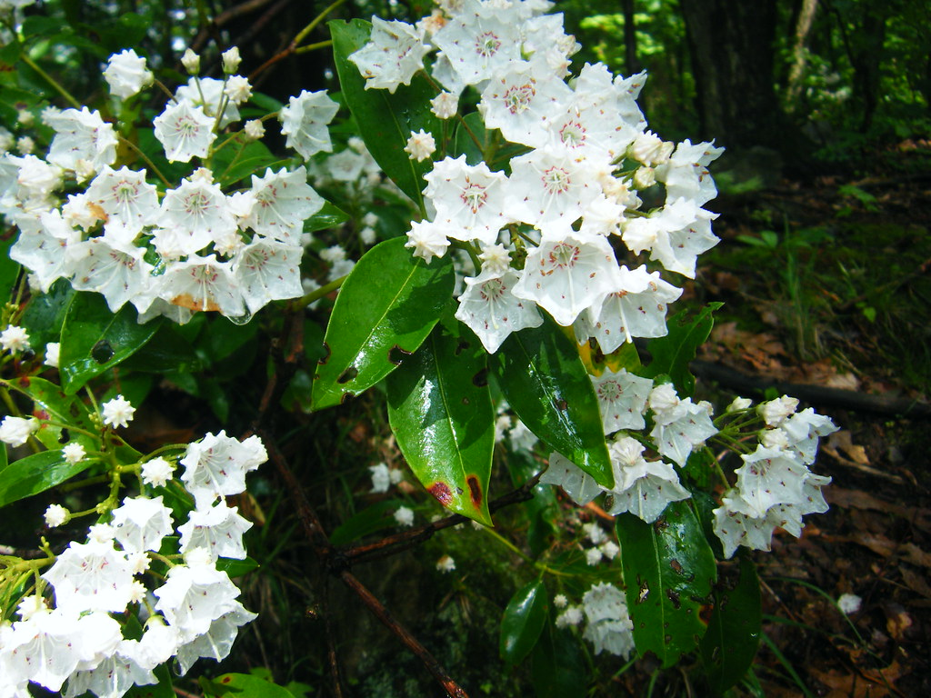 DSCF4068 Pennsylvania s state flower The Mountain Laurel