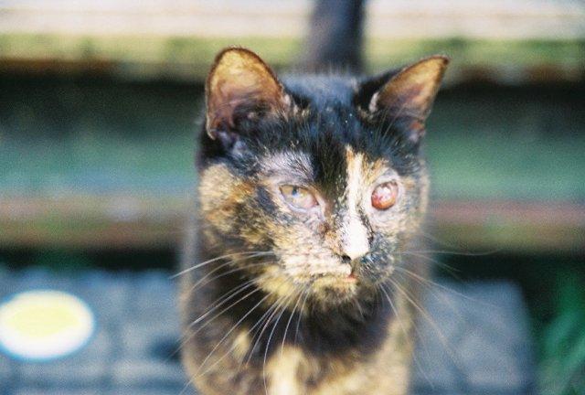 Cats Left Eye Is Swollen