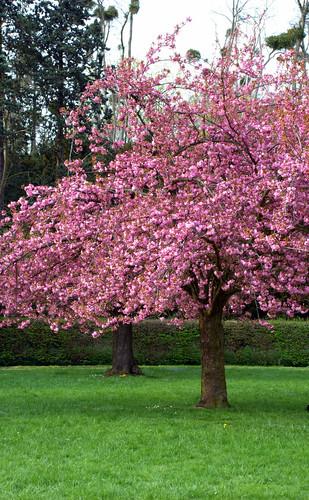 arbres et fleurs roses c 39 est le printemps flickr. Black Bedroom Furniture Sets. Home Design Ideas