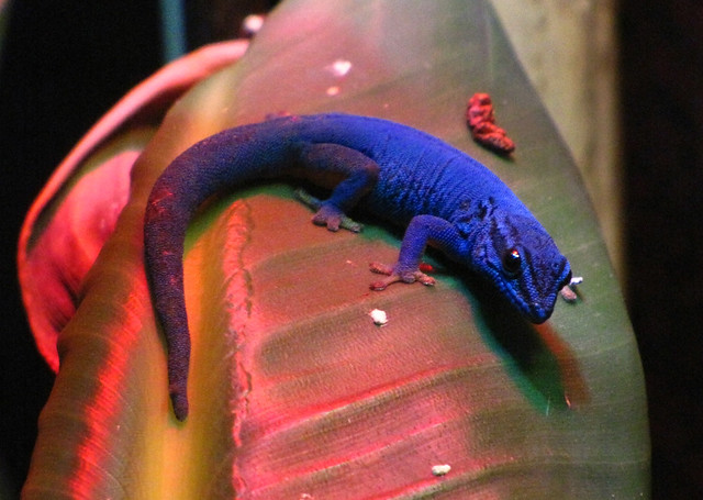 Electric Blue Day Gecko Actual Colors Judy H Flickr
