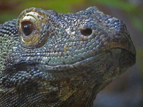 Komodo dragon | by allspice1