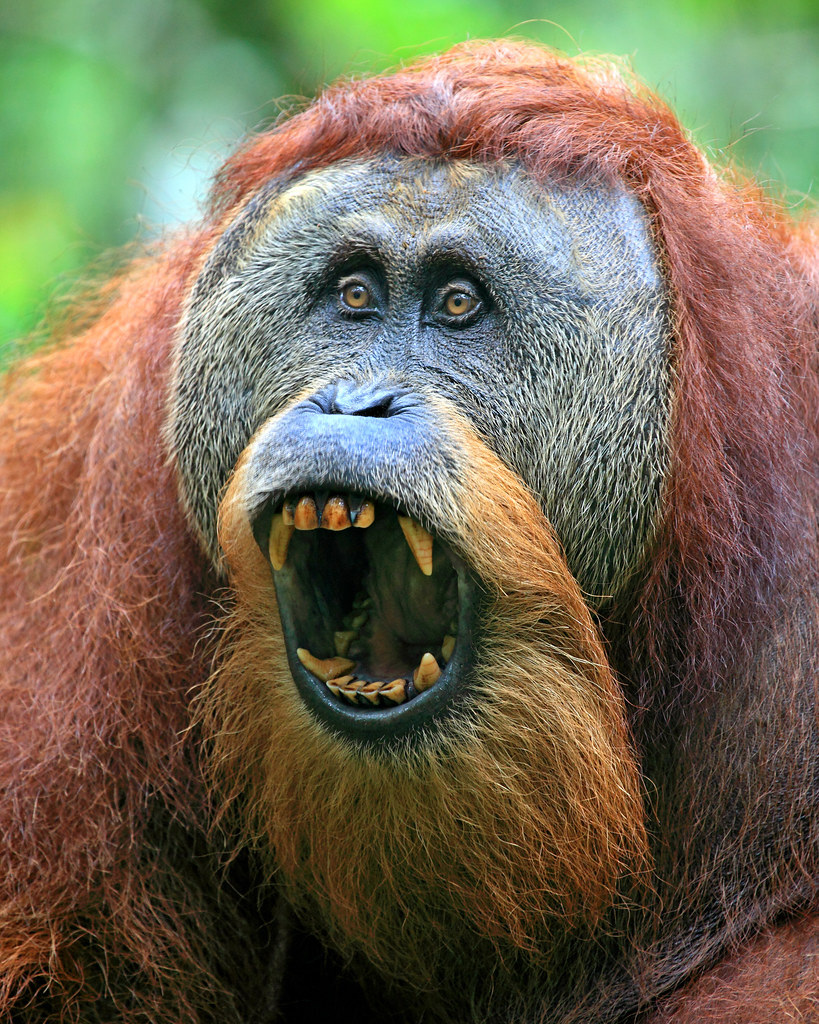 Sumatran Orangutan Se Asia Is Becoming One Of My