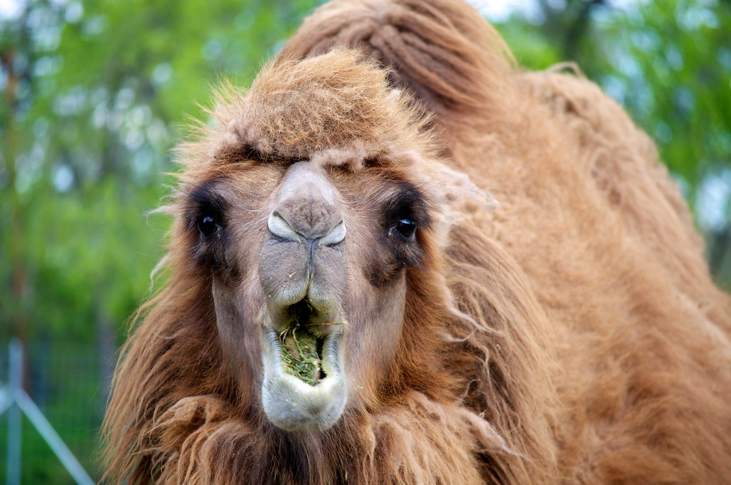 SURPRISED CAMEL!   Perhaps I shocked him in mid-chew?   CanadianKnight   Flickr