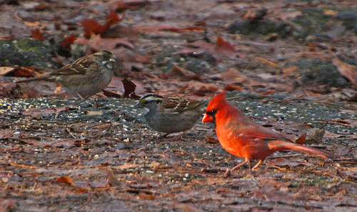 Cardinal and white-throated sparrows | by Steve Guttman NYC
