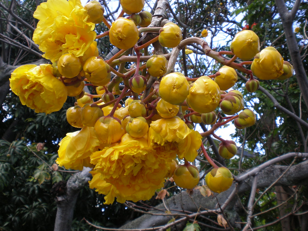 Double Flowers Of The Buttercup Tree Cochlospermum Vitifo Flickr