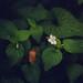 Pale Violet (Viola striata)