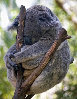 Koala Meditating (The ultimate koala photo?) | by Erik K Veland