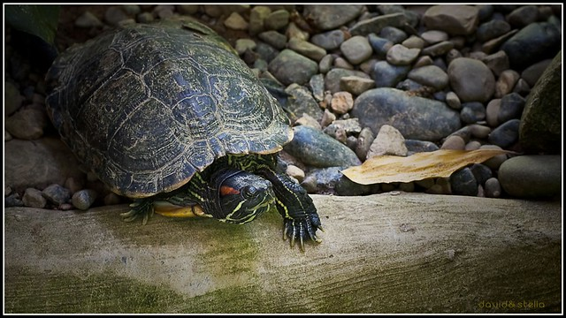 how to look after a map turtle