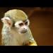Squirrel Monkey / Saimiri