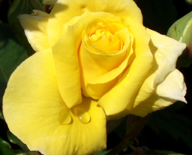 Yellow Rose With Water Drops: Water Drops On Yellow Rose