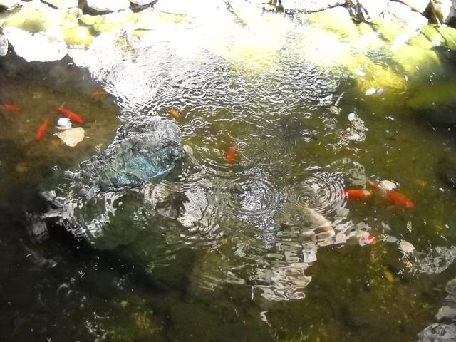 Laghetto sotto la sofora con pesci rossi e tatrarughe flickr for Laghetto pesci rossi e tartarughe