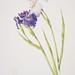 Iris ensata 'Oze' and 'Dark Drapery'
