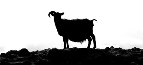 The lonely one horned sheep | by bragithor