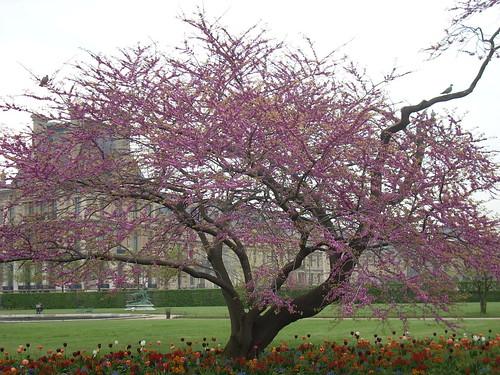 Arbre de jud e en fleurs aux tuileries blooming judas - Arbres pleureurs pour jardin ...