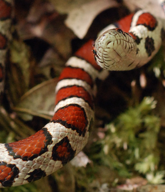 juvenile milk snake   About 20 cm. Moving uphill at midday ...