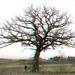 3D-04-08-09-0013a oak tree