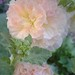 """peaches & dreams"" hollyhock ~ 2009"