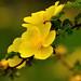 """Rosier arbustif  """"Golden Chersonese"""""""