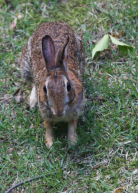 Wild Backyard Rabbits : Backyard Visitor  Havent seen a wild rabbit in my backyard