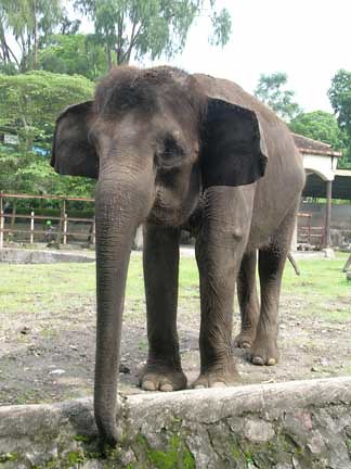 Gajah Asia Asian Elephant Elephas Maximus Www Gembiralok Flickr