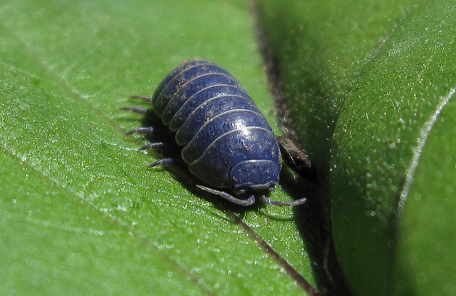 Blue sow bug i like blue bugs ben amstutz flickr