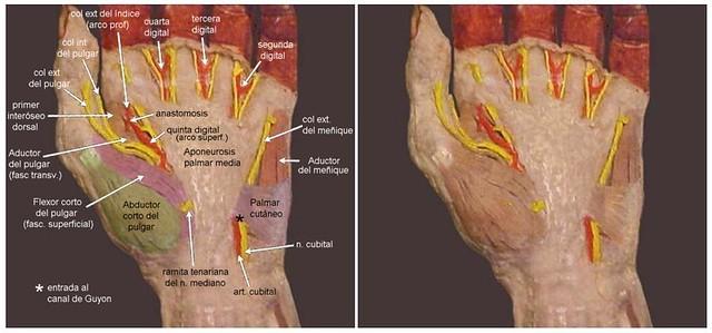 aponeurosis palmar media mano izquierda cátedra de anatomía