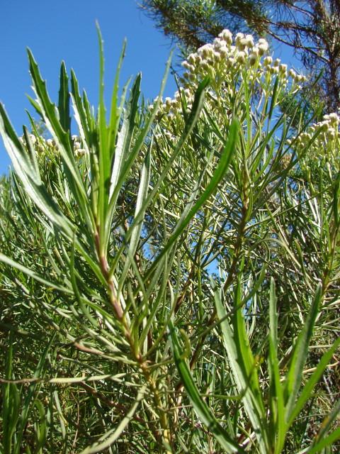 Asteraceae baccharis pingraea dc jard n bot nico for Jardin botanico vina