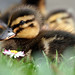 The Duckling and the Daisy