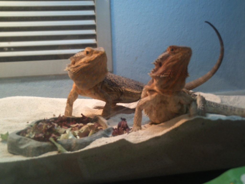 If My Bearded Dragon Escaped How Far Can He Travel