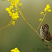 Song sparrow in yellow wildflowers