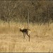 Blackbuck 4