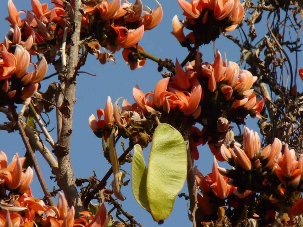 Pangong (Manipuri: পাঙ গোঙ) | Palash (Hindi: पलाश) is the ... Palash Flower In Hindi