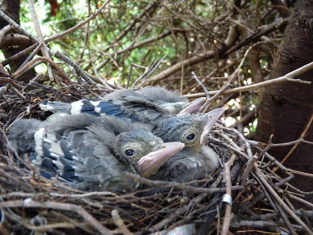 May 19 - baby blue jay | Ready to fly anyday now! | Flickr